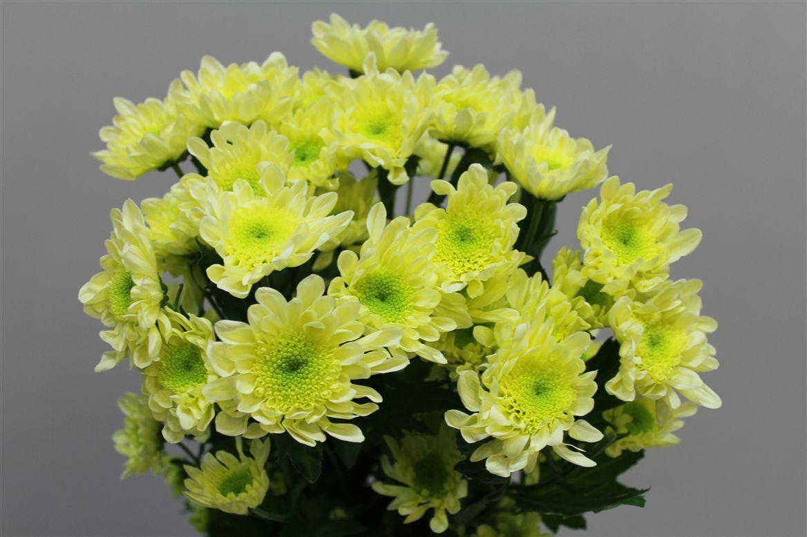 прибытия подразделений хризантема веточная фото время разговоров
