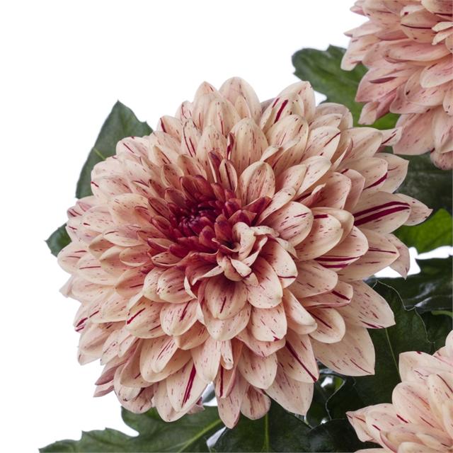 Булочки хризантемы рецепт пошагово фото очень